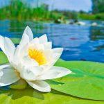 La fleur de lotus : une plante dotée de symboles et de signification plurielle